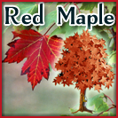red-maple-thumb